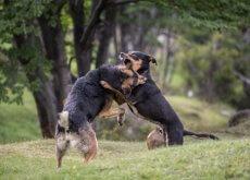 lotte tra cani