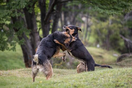 Lotte tra cani: maltrattamenti sul ring