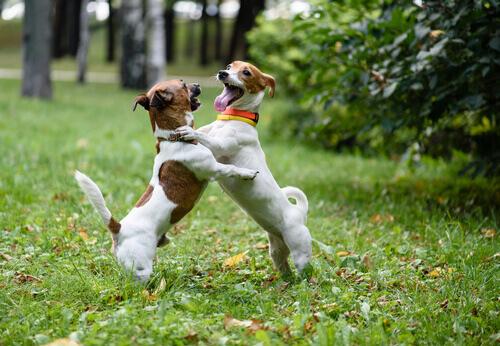 Come fermare correttamente una lotta tra cani