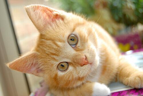 Scoprite le malattie delle orecchie dei gatti