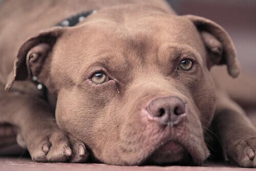 Pitbull marrone sdraiato