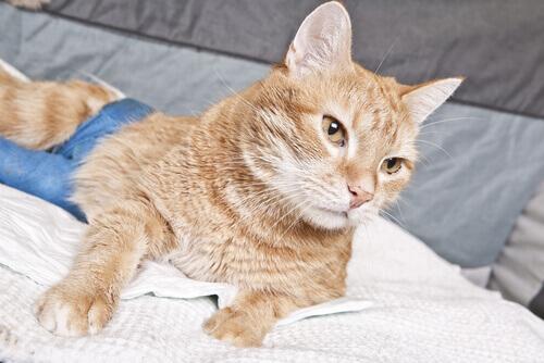 gatta arancione sul divano durante il primo calore
