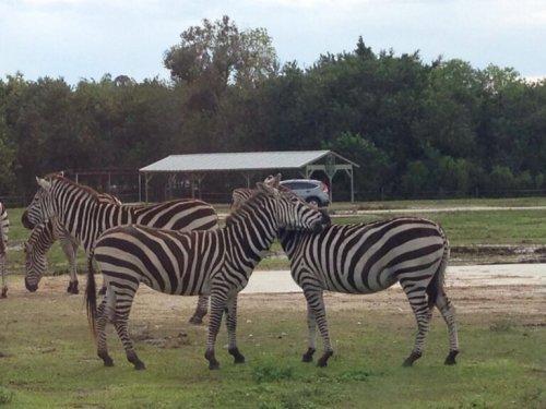 Zebre in una riserva