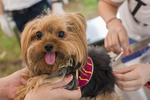 6 effetti collaterali dei vaccini per cani
