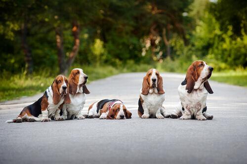 Basset Hound, un cane tranquillo e simpatico