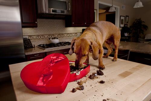 cane sul tavolo che mangia cioccolato