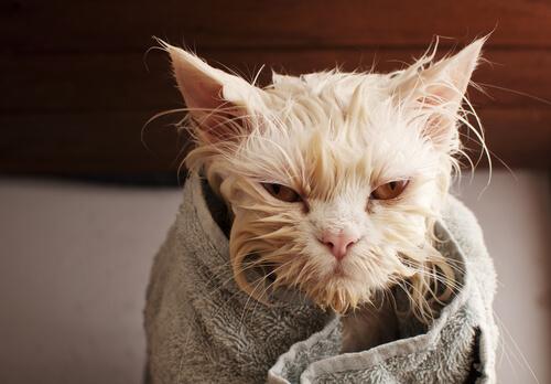 Come lavare il gatto in casa in modo sicuro