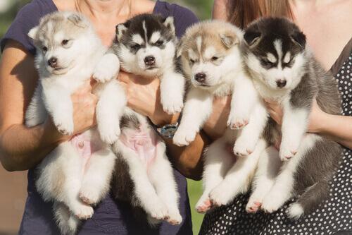 quattro cuccioli di Husky
