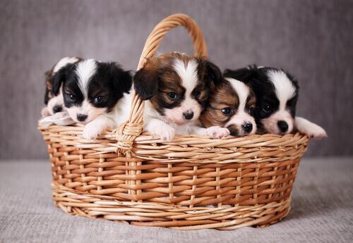 cestino con cuccioli bianchi e marroni