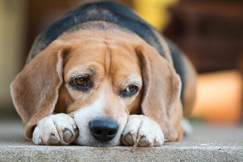 Diabete nel cane: ecco quali sono i rischi