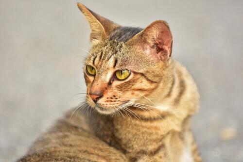 Gatto del Bengala, una bellissima razza da scoprire