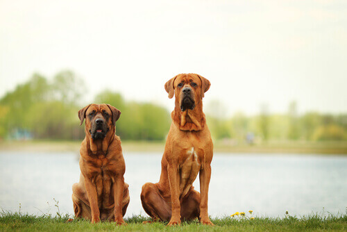 Perché il vostro cane è ossessionato dalla monta?