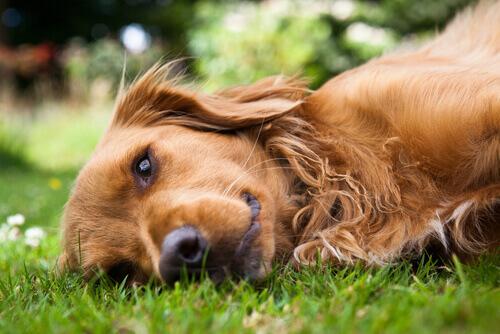 Astenia cutanea: la sindrome della pelle anelastica nei cani