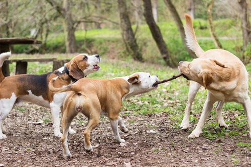 Veterinari inglesi: lanciare bastoni ai cani è pericoloso