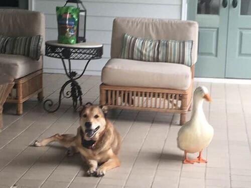 Un'anatra cura la depressione di un cane