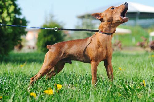 cane-al-guinzaglio-che-abbaia