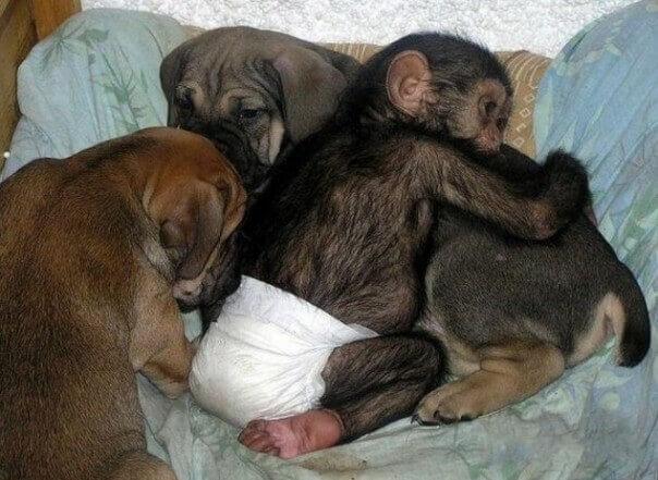 cane-che-si-prende-cura-degli-scimpanze-orfani-2