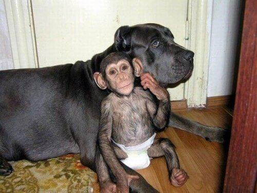 Il cane che si prende cura degli scimpanzé orfani