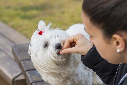 padrona somministra medicina al cane bianco