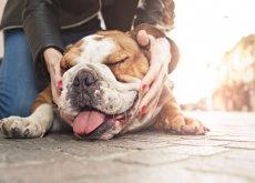 cane dal muso schiacciato