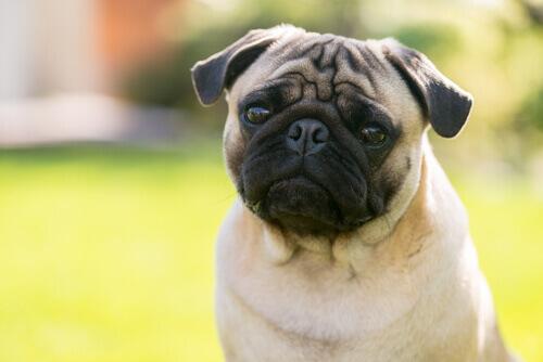 cane-con-occhi-sporgenti