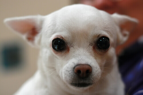 Come pulire le cispe del vostro cane