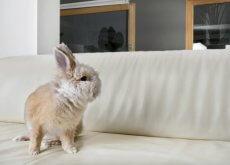 coniglio-sul-divano