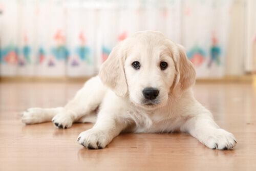 cucciolo-sul-pavimento