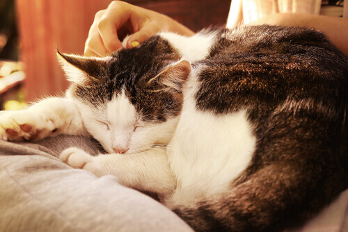 gatto-dorme-accarezzato-dal-padrone