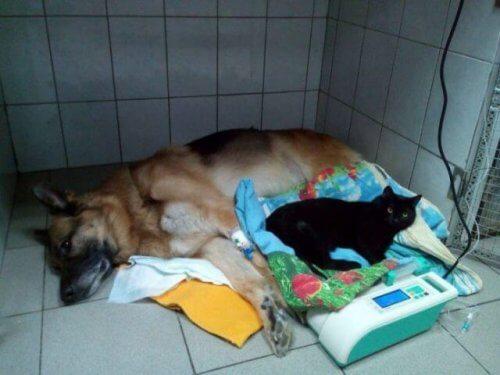Lucifero, un gatto paralizzato che aiuta gli altri