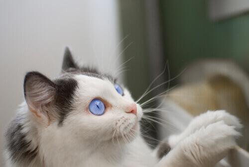 gatto-occhi-azzurri