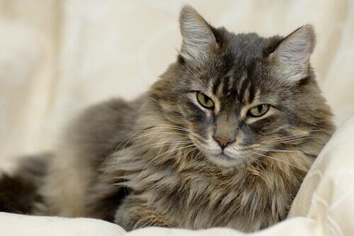 Tutto quello che dovete sapere sul pelo del gatto