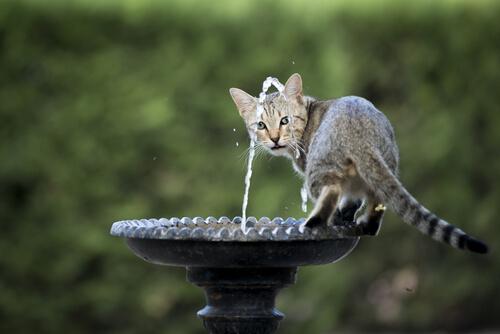 gatto vuole bere dalla fontana