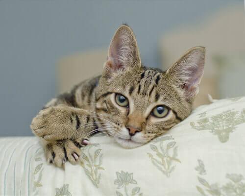 gatto-sulla-poltrona