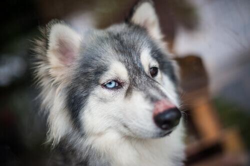 husky con singhiozzo
