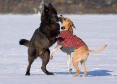 lupo-gioca-con-cane