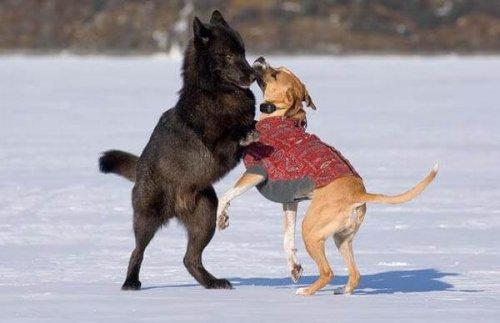 La grande amicizia tra un lupo e un cane