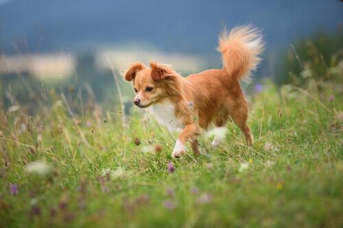cagnolino bianco e arancione con la coda dritta