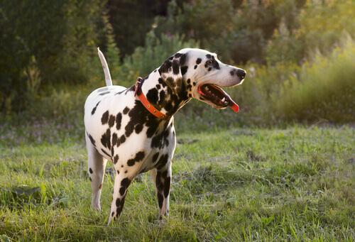 I cani agitano la coda anche se sono tristi