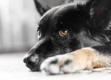 cane soffre di nistagmo