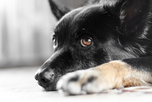 Sapete cos'è il nistagmo nei cani? Ve lo spieghiamo!