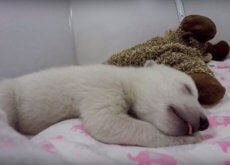 orso polare che dorme