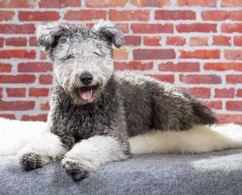 Il Pumi, conoscete già questa nuova razza di cane?