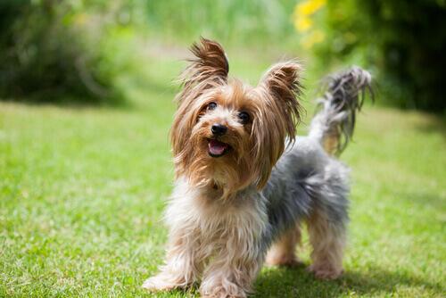 Yorkshire Terrier: un cane piccolo con un grande carattere