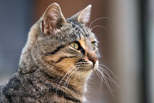 Scoprite tutti i segreti dei baffi del gatto