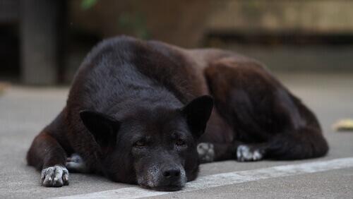 I cani anziani e la sindrome da disfunzione cognitiva