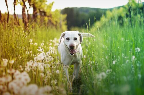 Un cane smarrito cammina per 80 chilometri verso casa