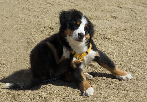 Precauzioni maggiori per i cani allergici alle pulci