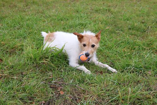 Le spighe, un pericolo sconosciuto per il vostro cane