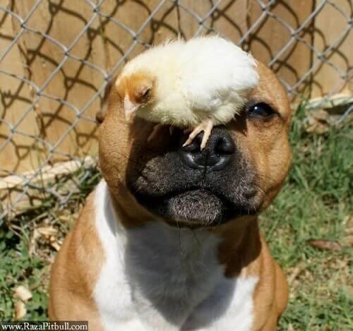 cane con pulcini